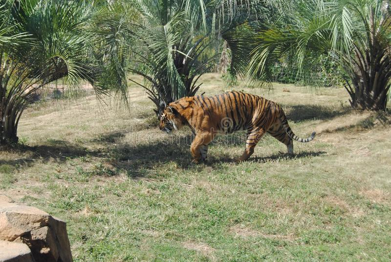 Tigre no Prowl imagem de stock