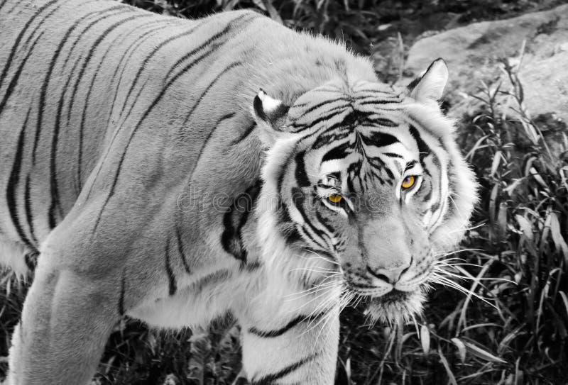 Tigre observado amarillo imagenes de archivo