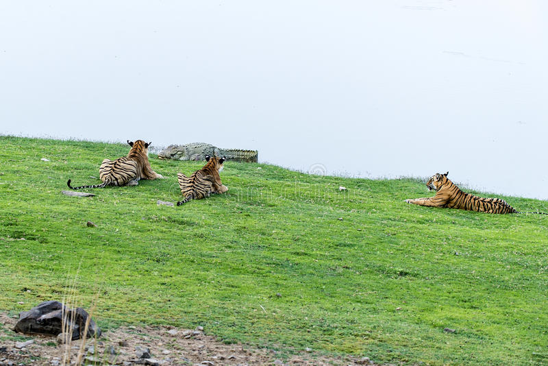 Tigre observando o crocodilo imagem de stock royalty free