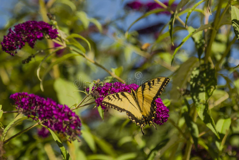 Tigre oriental masculino Swallowtail fotos de stock royalty free