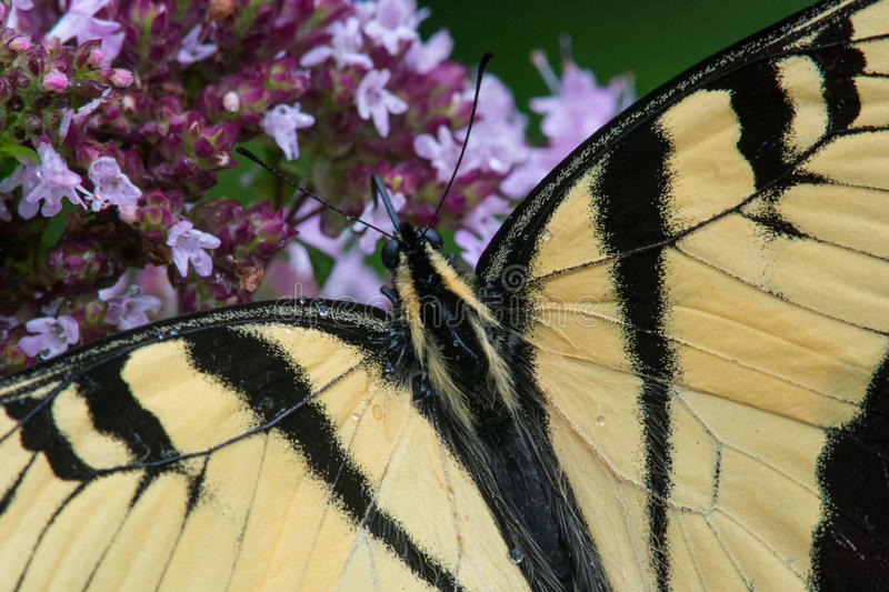 Download Tigre oriental Swallowtail image stock. Image du mouche - 45360523