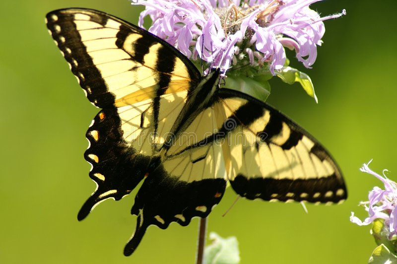 Tigre oriental Swallowtail (glaucas de Papilio) fotografia de stock royalty free