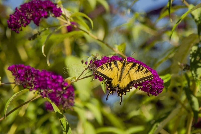 Tigre orientale maschio Swallowtail immagine stock