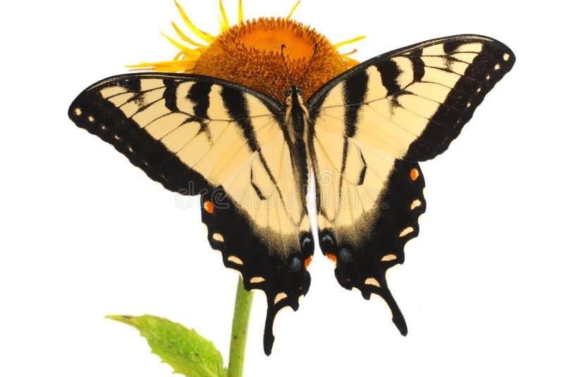 Tigre orientale Swallowtail immagini stock libere da diritti