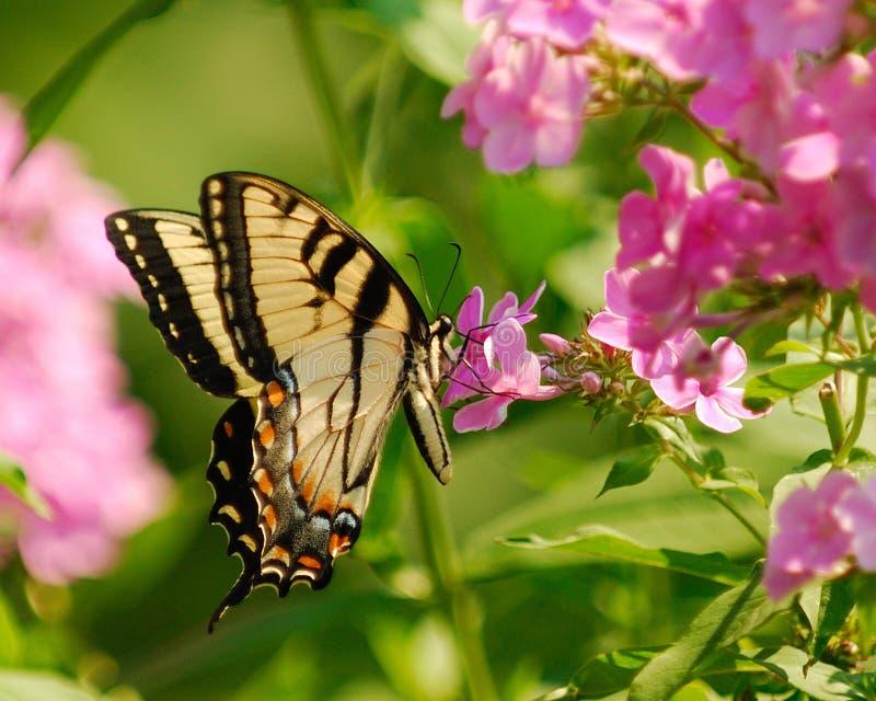 Tigre orientale Swallowtail fotografie stock