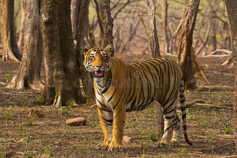 Tigre Pacman, Panthera el Tigris, Ranthambhore Tiger Reserve, Rajasthán imagen de archivo libre de regalías