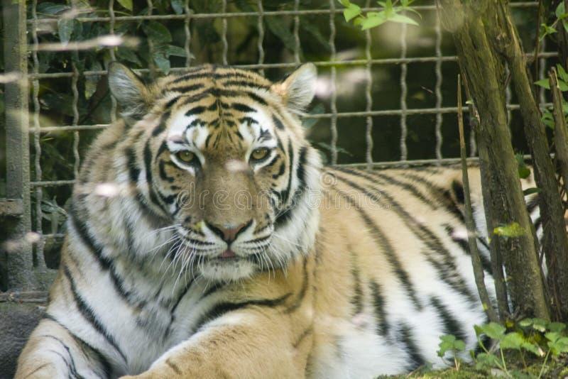Tigre - Panthera le Tigre photographie stock libre de droits