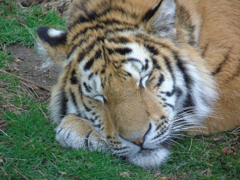 Tigre perigoso que dorme como um gatinho de ronrom fotografia de stock royalty free