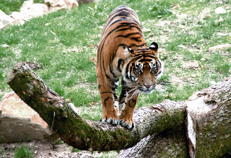 Tigre prêt à brancher image stock