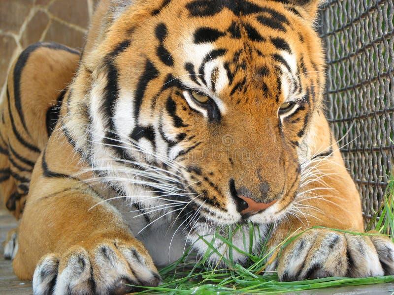 Tigre que come la hierba imagenes de archivo