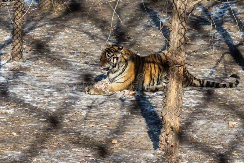 Tigre Que Come Un Pollo En Tiger Park Siberiano Harbin China Imagen De Archivo Imagen De Siberiano Come 81210409