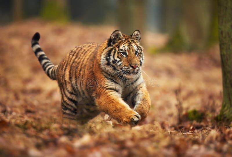 Tigre que corre en el tigre siberiano del bosque, altaica de Amur del Tigris del Panthera fotografía de archivo