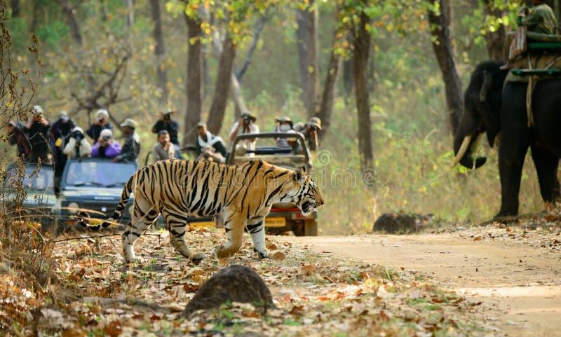 Tigre que cruza uma estrada no kanha fotografia de stock royalty free