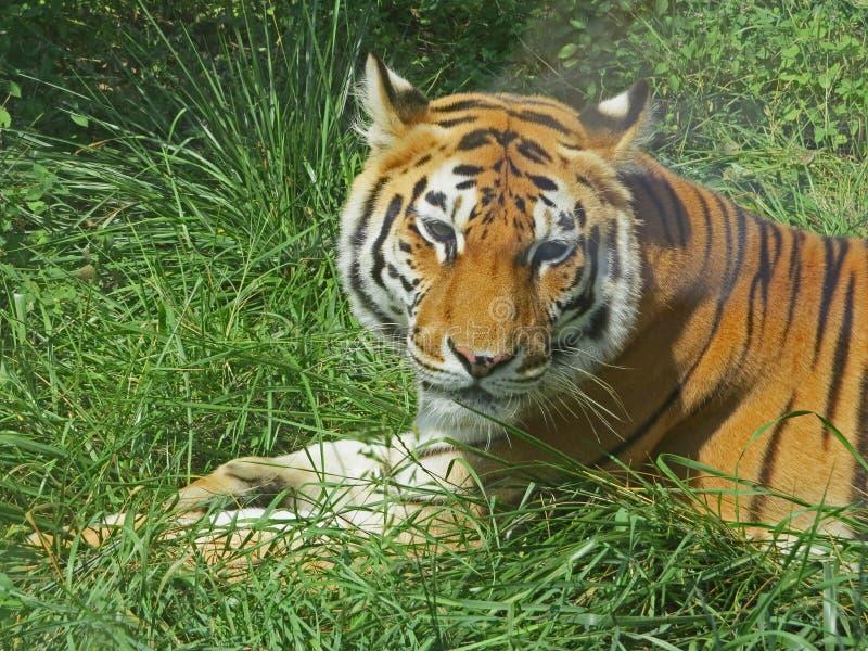 Tigre que encontra-se para baixo para um resto na grama imagens de stock royalty free