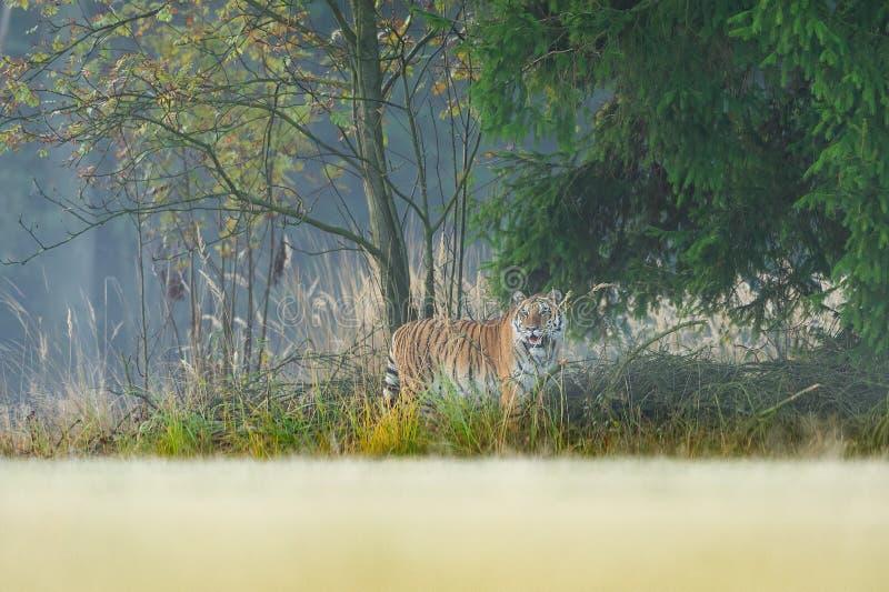 Tigre que hidding na borda do animal perigoso da floresta, taiga Rússia Tigre Siberian, altaica de tigris do Panthera fotografia de stock