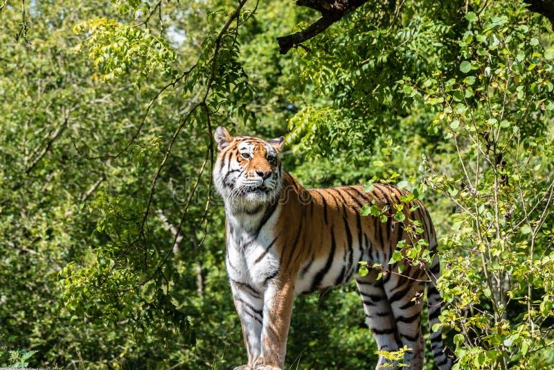 Tigre que mira en alguna parte imagenes de archivo