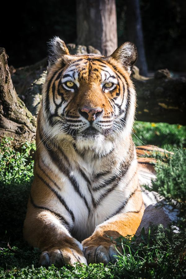 Tigre que mira la cámara Retrato vertical imagen de archivo