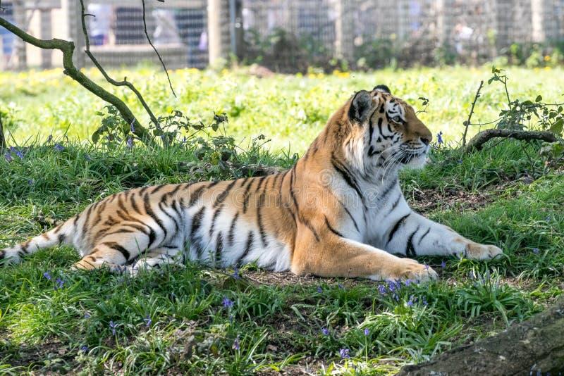 Tigre que pone en campanillas imágenes de archivo libres de regalías