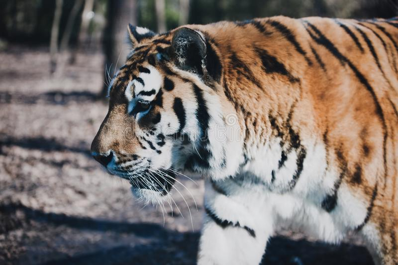 Tigre que recorre en bosque foto de archivo
