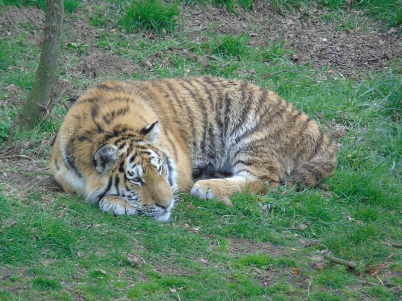 Tigre que refrigera e relaxado fotos de stock