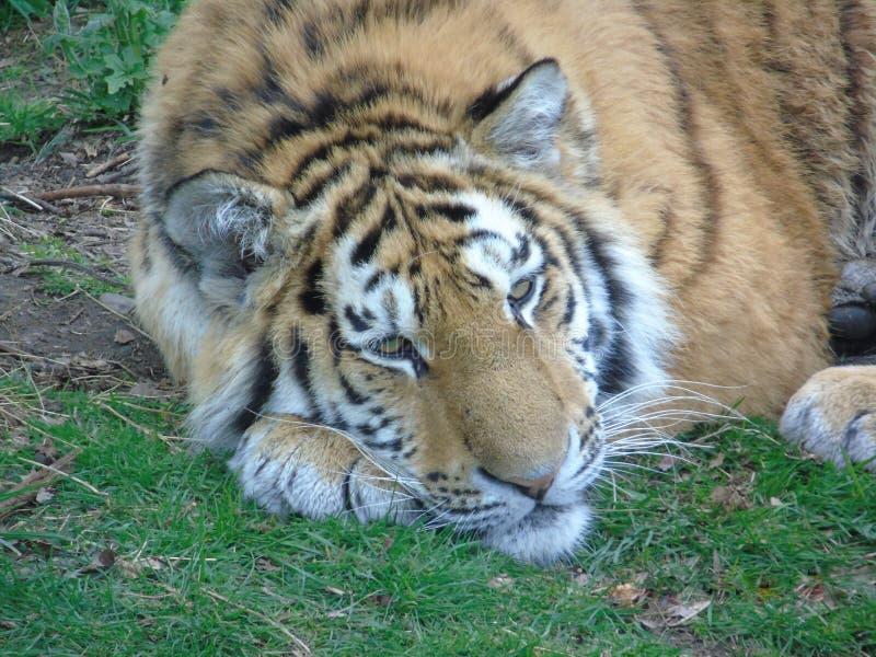 Tigre que refrigera para fora fotos de stock