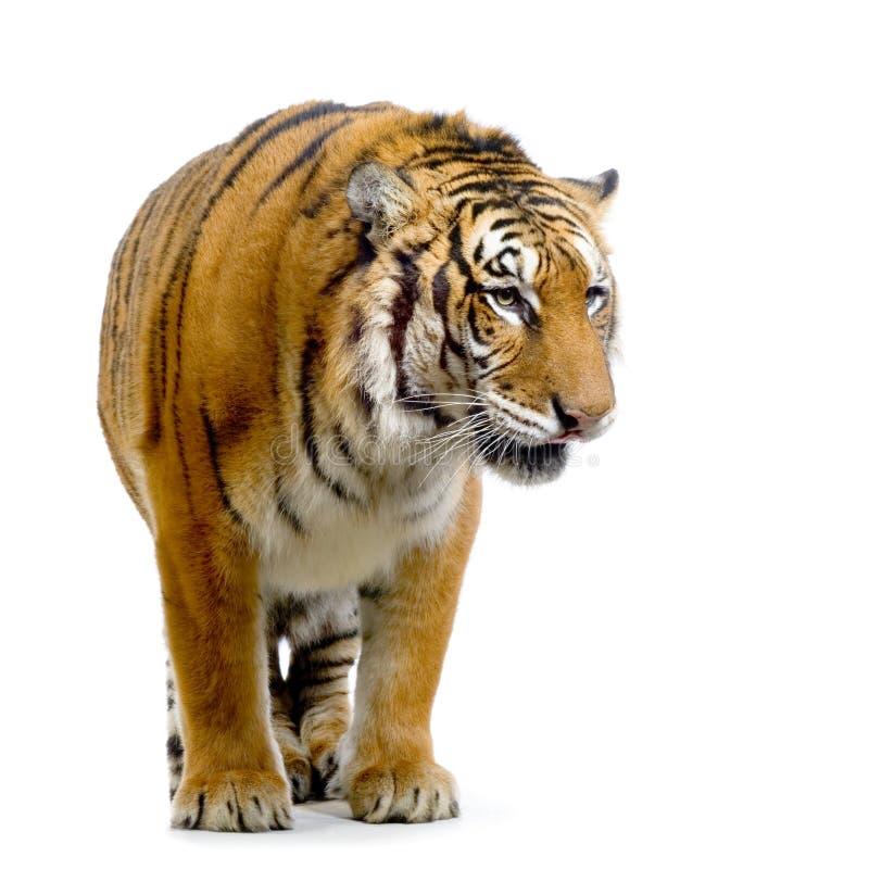 Tigre que se levanta imagenes de archivo