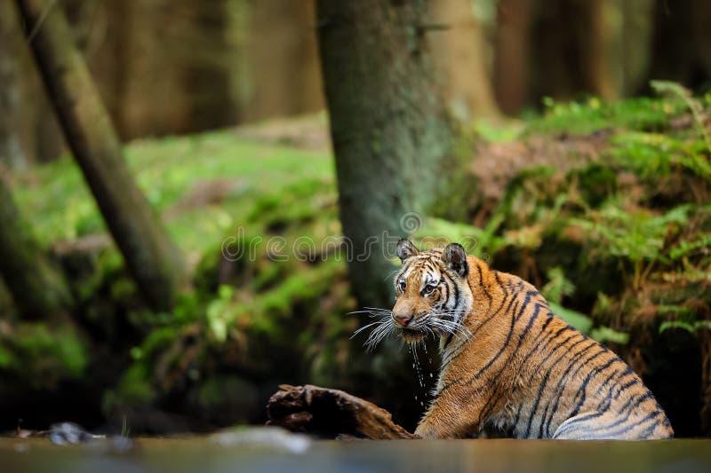 Tigre que se sienta en agua Animal peligroso en hábitat natural Tigre siberiano, altaica del Tigris del Panthera imagen de archivo libre de regalías