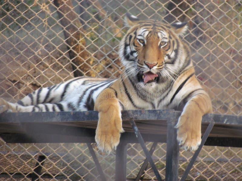 Tigre que se sienta en un parque zoológico fotografía de archivo libre de regalías