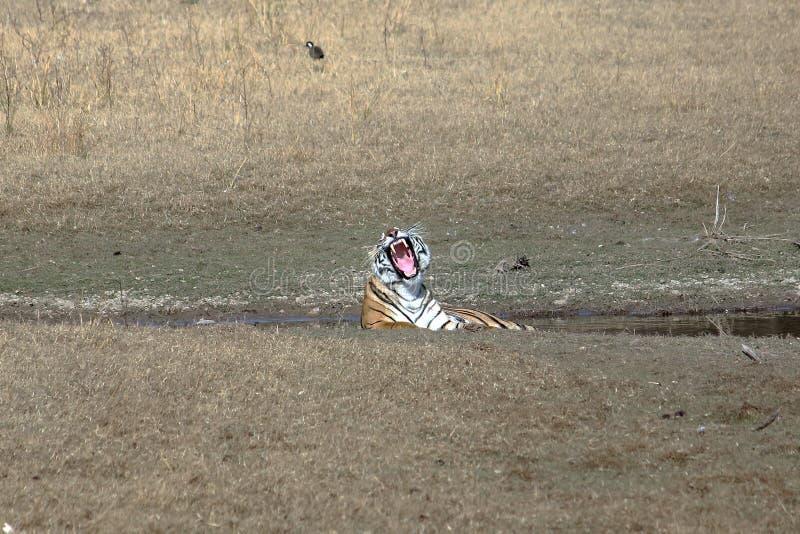 Tigre real da guinada Bengal, Ranthambore, Rajasthan, Índia fotografia de stock