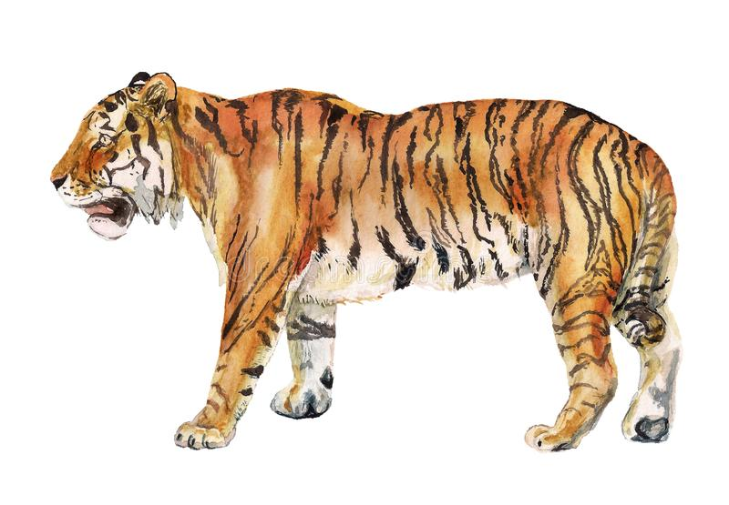 Tigre realista de la acuarela ilustración del vector