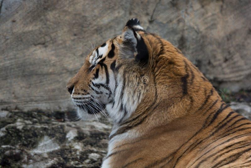 Tigre regardant fixement vers la gauche image libre de droits