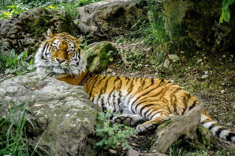Tigre in regione selvaggia immagine stock