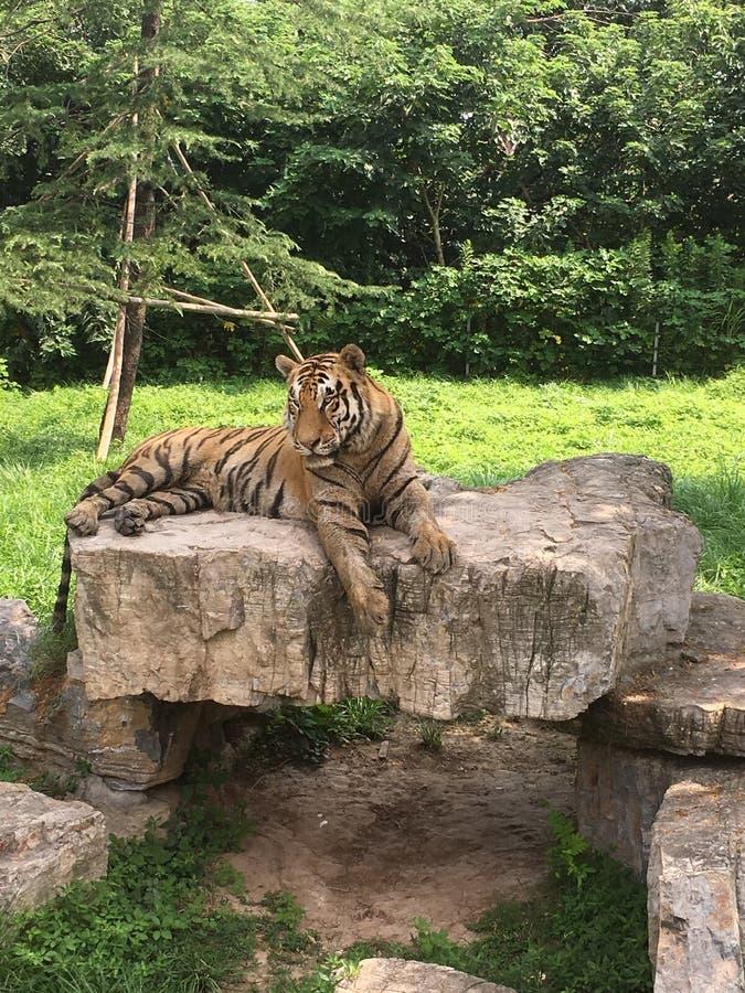 Tigre rilassata che riposa dopo la caccia fotografie stock