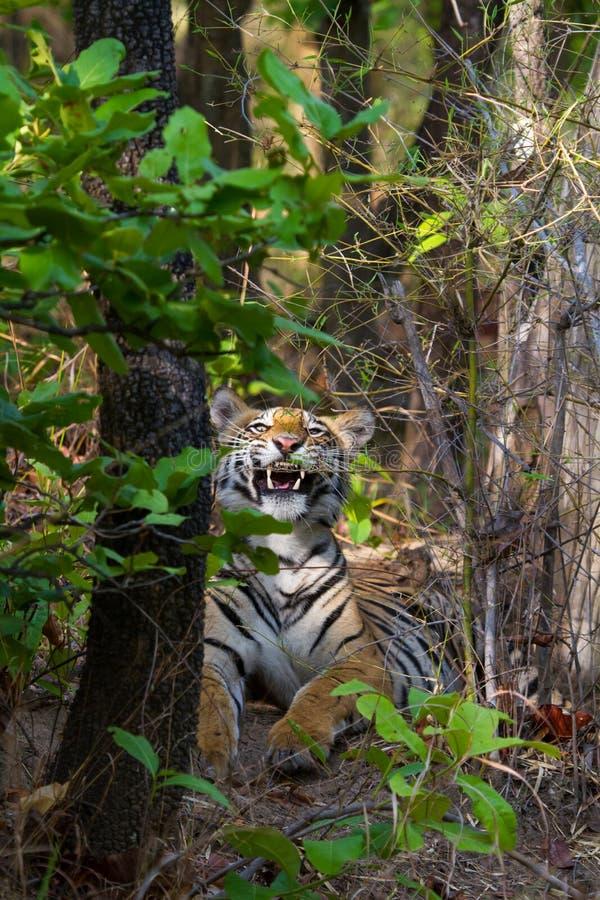 Tigre royal du bengale montrant des canines dangereuses photos libres de droits