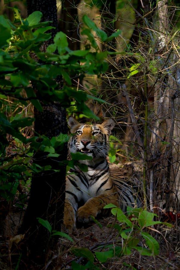 Tigre royal du bengale montrant des canines dangereuses image libre de droits