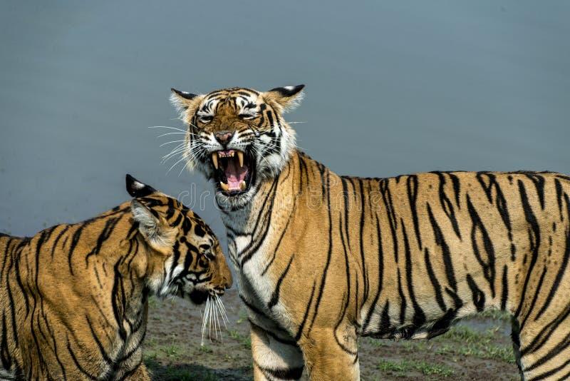 Tigre rujir fotos de stock royalty free