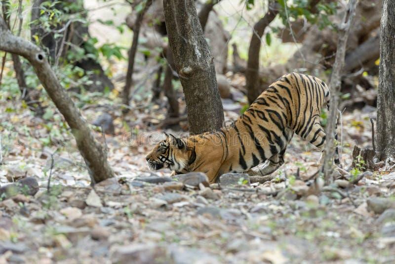 Tigre s'étirant, parc national de Ranthambhore, Ràjasthàn, Inde photographie stock
