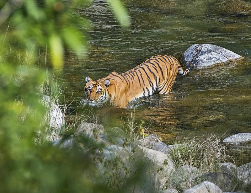 Tigre sauvage : Rivi?re de croisement dans la for?t de Jim Corbett image stock