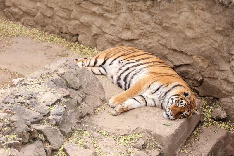Tigre se reposant dans le jardin zoologique image stock
