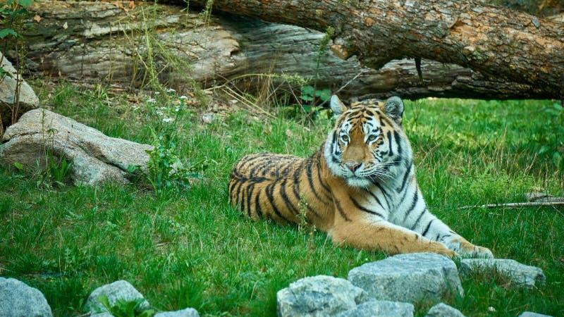 Tigre se trouvant au sol photo stock