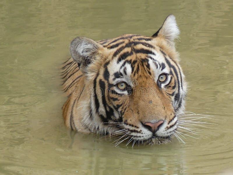Tigre selvagem que refrigera fora na água em seu habitat natural foto de stock royalty free