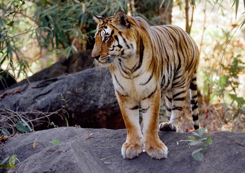 Tigre selvaggia immagini stock libere da diritti