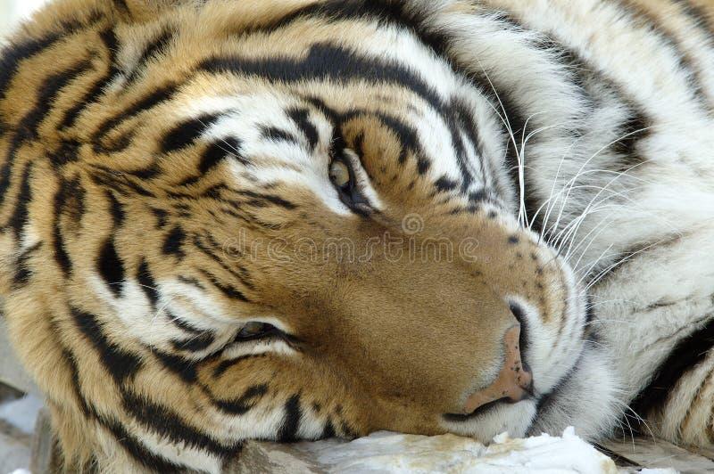 Tigre sibérien photo libre de droits