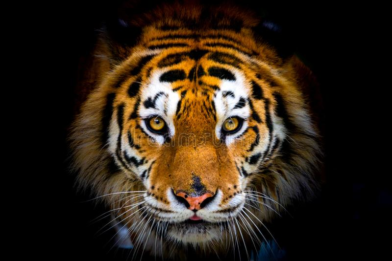 Tigre sibérien, altaica du Tigre de Panthera, également connu sous le nom de tigre d'Amur photo stock