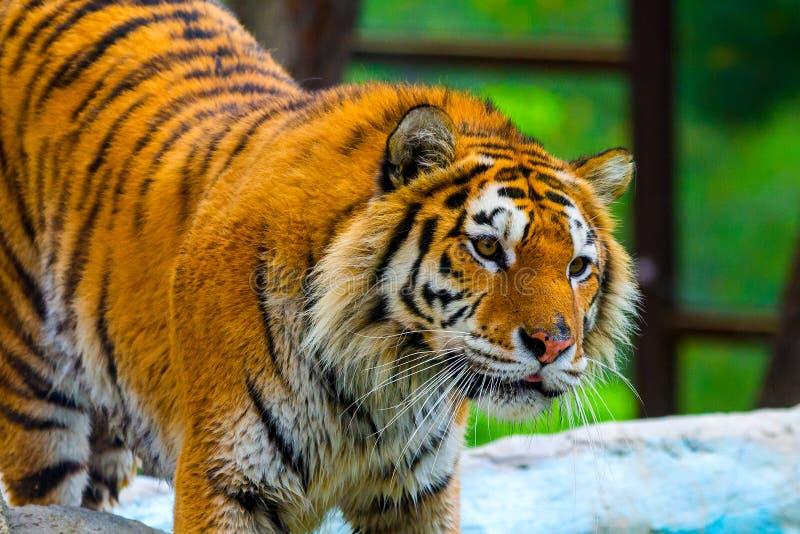 Tigre sibérien, altaica du Tigre de Panthera, également connu sous le nom de tigre d'Amur photo libre de droits