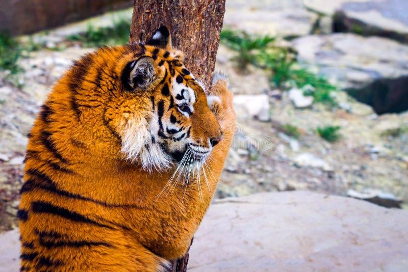 Tigre sibérien, altaica du Tigre de Panthera, également connu sous le nom de tigre d'Amur photographie stock libre de droits