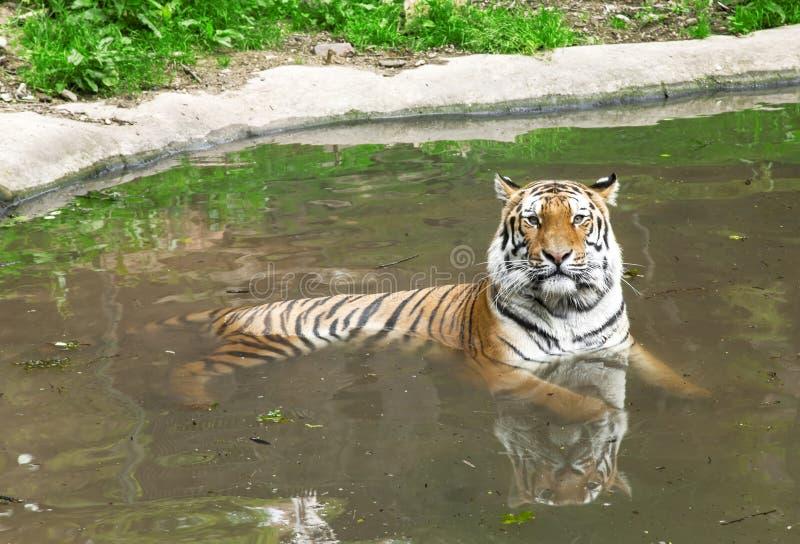 Tigre sibérien dans l'eau photo stock