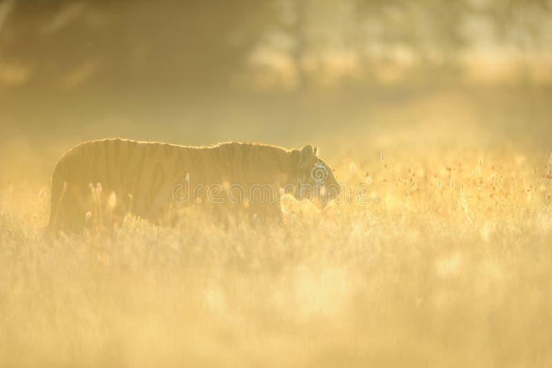 Tigre sibérien dans l'herbe jaune sur le lever de soleil de matin image stock
