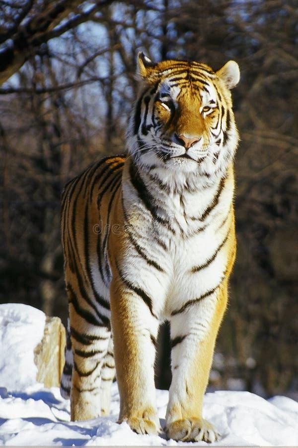 Tigre sibérien dans la neige images libres de droits