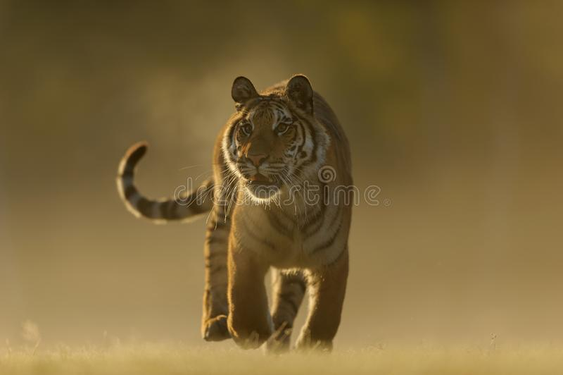 Tigre sibérien de partie antérieure Plan rapproché au chasseur animal de dangeours Tigre sib?rien, altaica du Tigre de Panthera images libres de droits